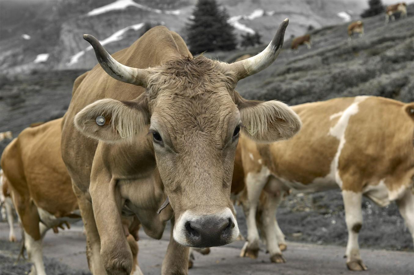 Kühe beim Alpabzug